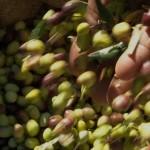 Зелени маслини БЕЗ костилка /био, цели плодове/, 370 г