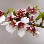 Прясно изцедено бадемово масло от див български бадем /стари сортове, БИО/ 'Wildvitalic', 4мл